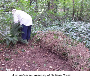 A volunteer removing ivy at Hallinan Creek