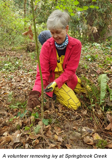 A volunteer removing ivy at Springbrook Creek