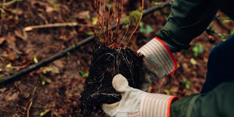 Planting native trees and shrubs