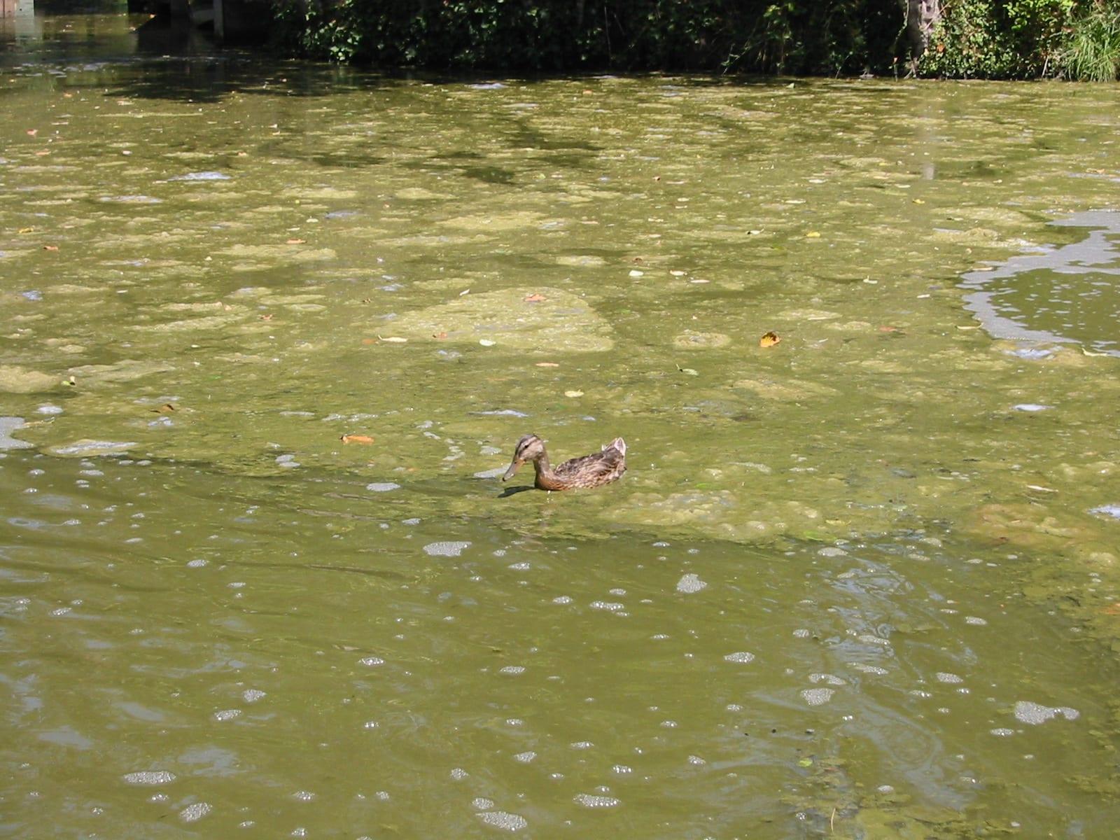 Blue Heron Canal Algae