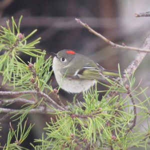 Ruby-crowned Kinglet on a branch.
