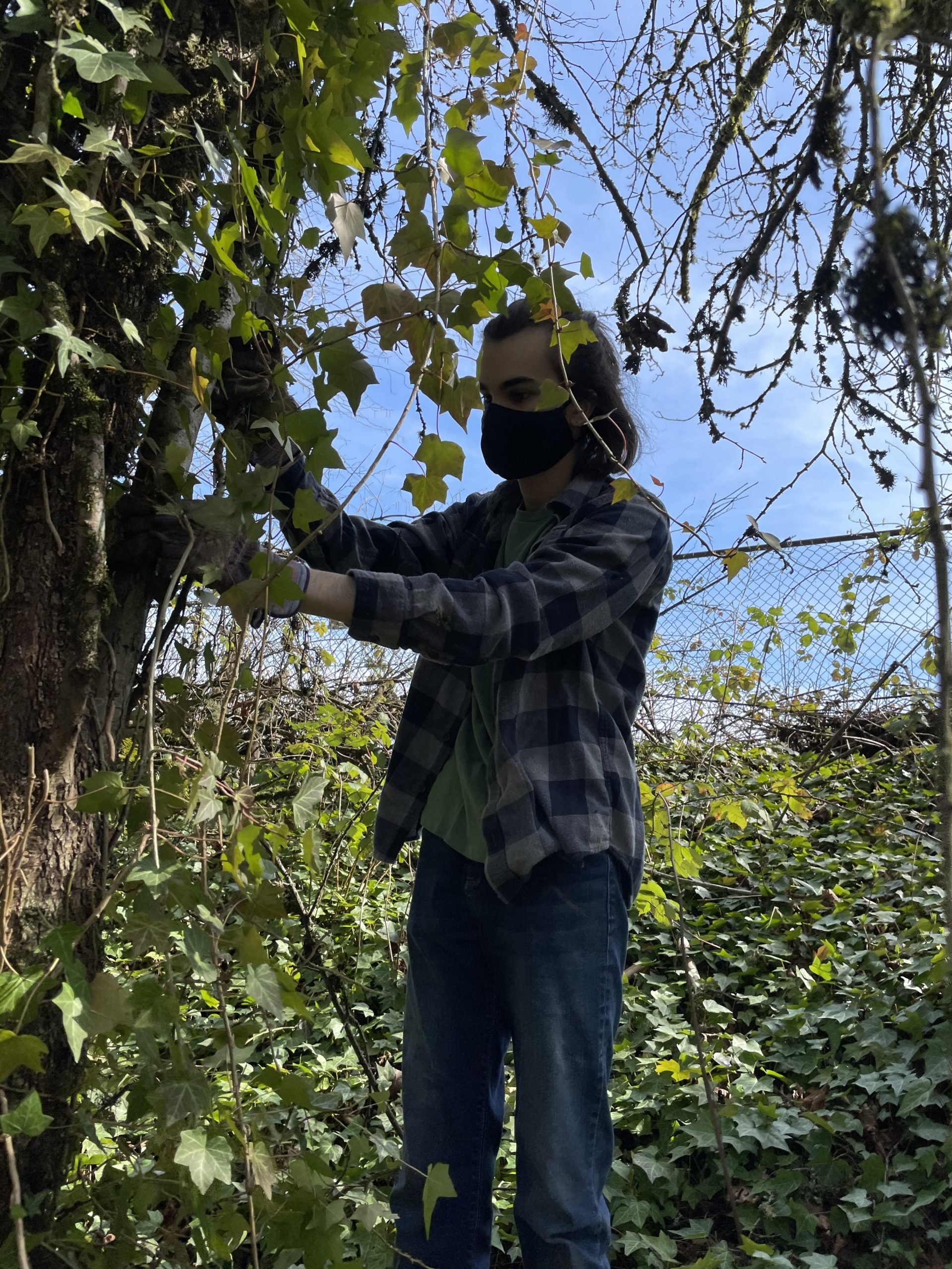 Student removes invasive ivy from a tree at Lake Oswego High School