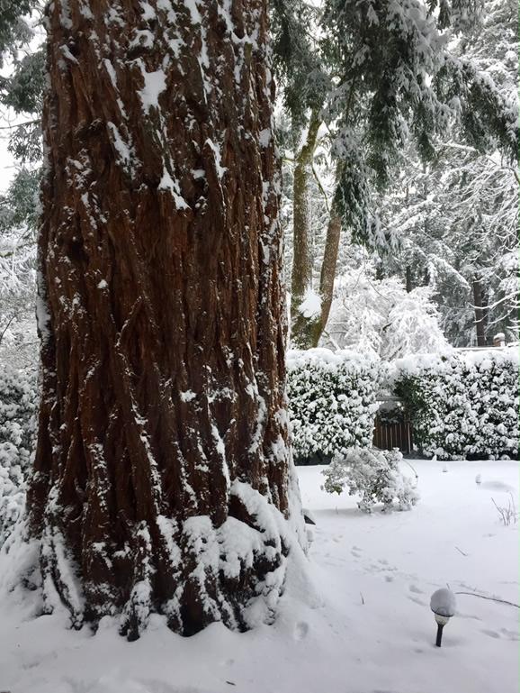 heritage Redwood in the snow
